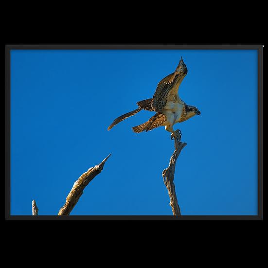 Landing Osprey