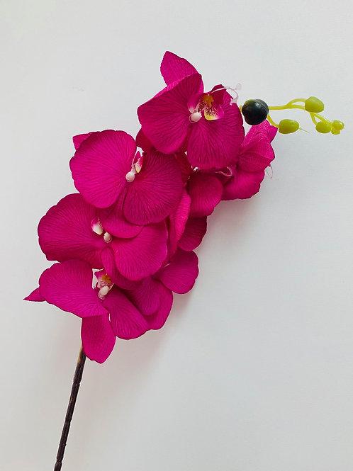 Phalaenopsis Orchid Ruby