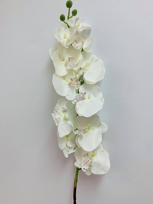 Phalaenopsis Orchid Ivory With Hints of Ruby