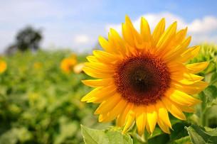 Slunečnicová semínka - víte co obsahují?