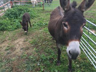 Denise The Donkey Gives Birth