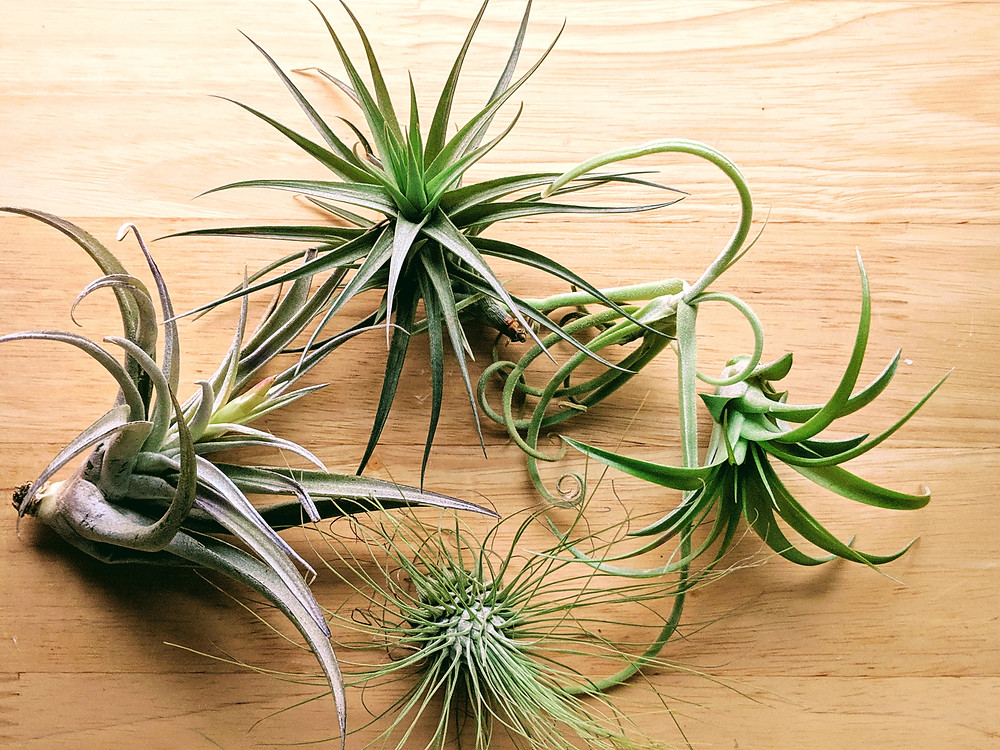 Air Plant Care Watering