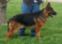 CH Ramses vom Windlaufer, blk and red German Shepherd, G-son of Triumph's Gucci