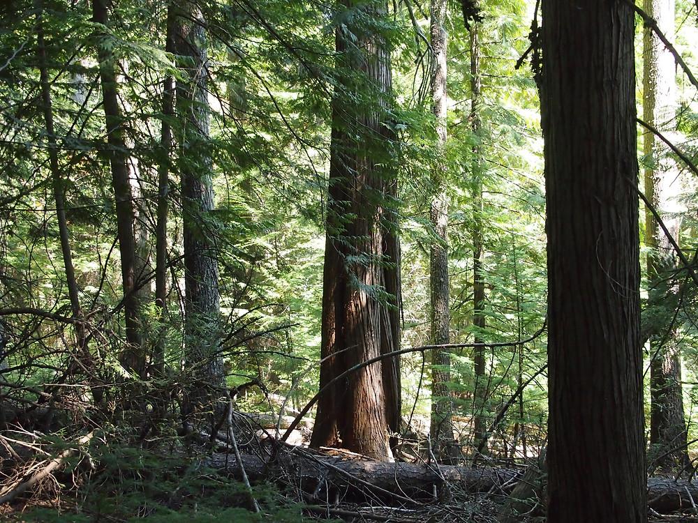 Deep forest at Cedar Springs Ranch