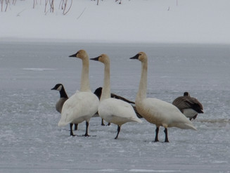 Creature Feature: The Tundra Swan