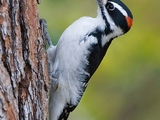 Creature Feature: Hairy Woodpecker