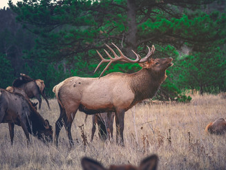 Elk impacted by human recreation