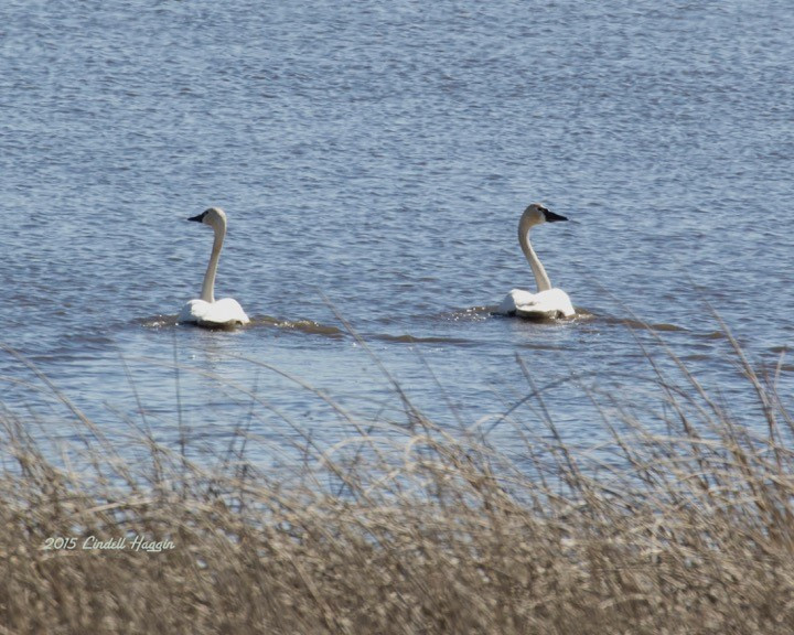Swans at Reardan's Audubon Lake