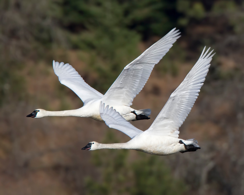 Tundra swans - photo by Jeanne Dammarell
