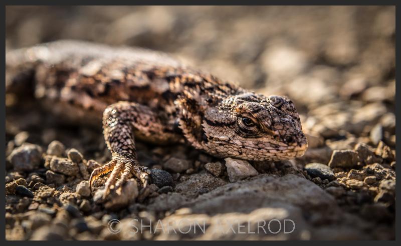 'Lizard'