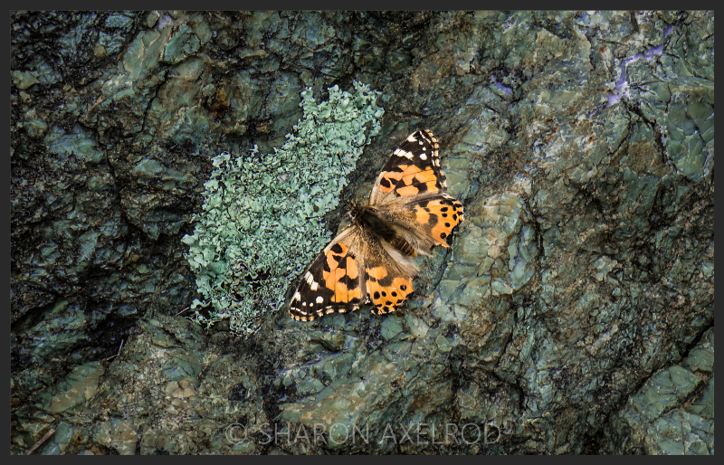 'Painted Lady Butterfly'