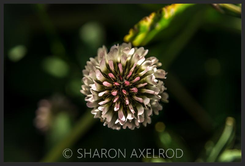 'Clover Flower'