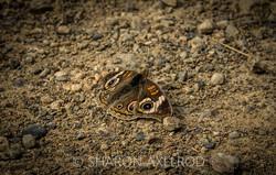 'Buckeye Butterfly'