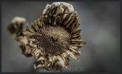 'Fibonacci's Ghost'