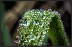 'Grass Dew'