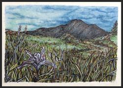 'Mt. Tam Iris'