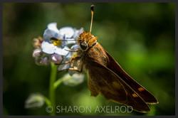 'Umber Skipper Butterfly'
