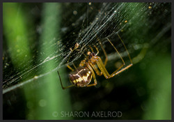 'Common Spider'