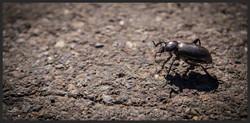 'California Darkling Beetle'