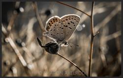 'Acmon Blue Butterfly'