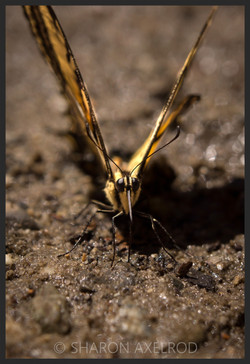 'Swallowtail Butterfly face'