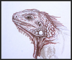 'Iguana Study'