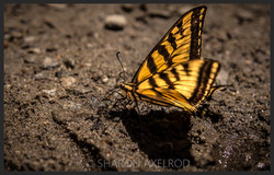 'Swallowtail Butterfly'