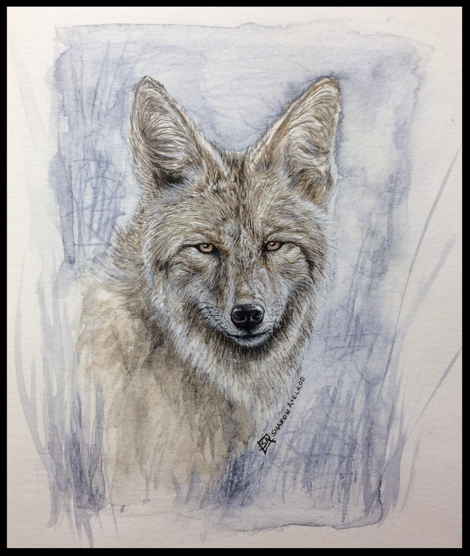 'Coyote Study'