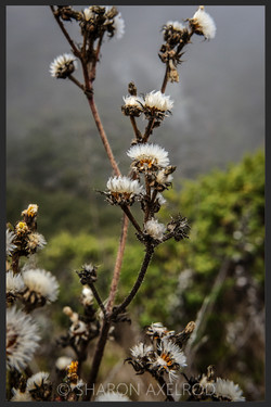 'Ghost Flower'  © Sharon Axelrod