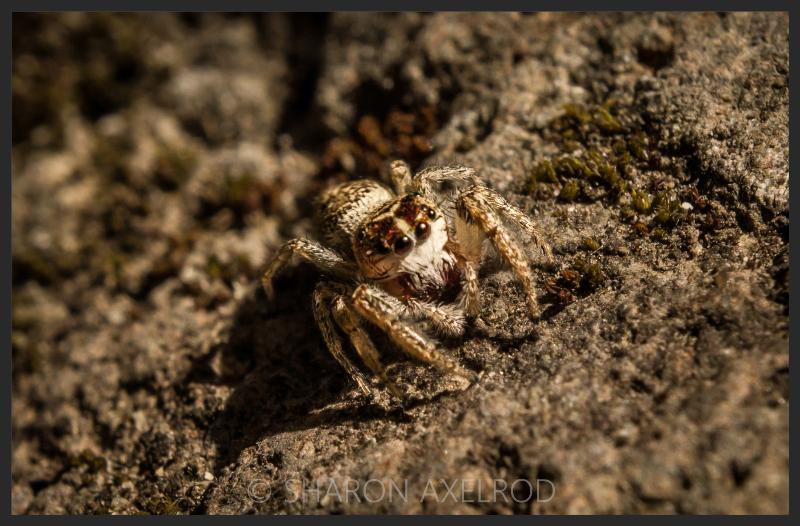 'Jumping Spider'
