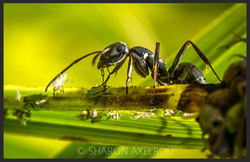 'Aphid Farming Ant'