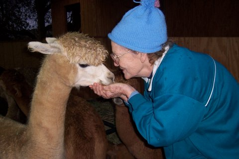 Alpacas are gentle