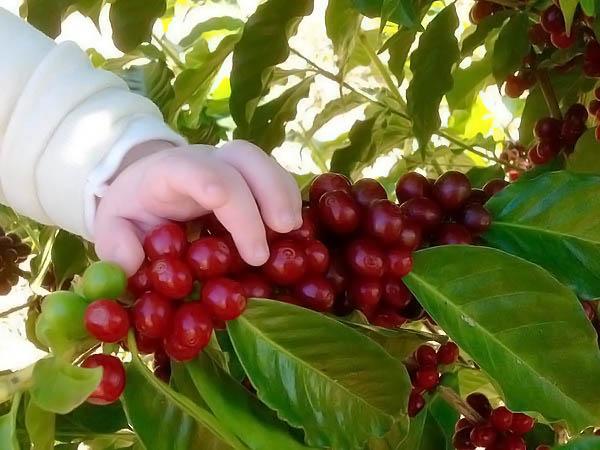 Fruto do café