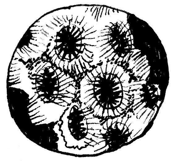 oculina varicosa - line