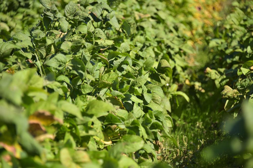 黒大豆畑。