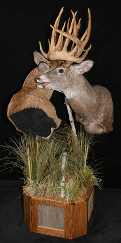 Whitetail Bucks fighting pic 1