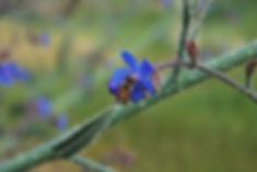 דבורת דבש על פרח לשון הפר. צילום: מכוורת נגוהות