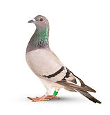 homing-pigeon-bird-isolated-white_34013-