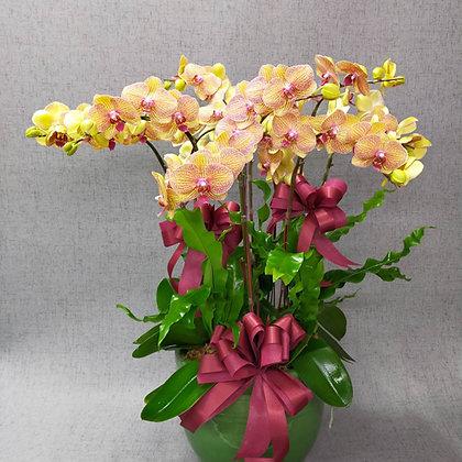 e8009桌上型蘭花