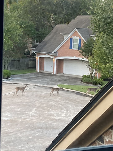 Three deer crossing the pavement in front of a neighborhood house.