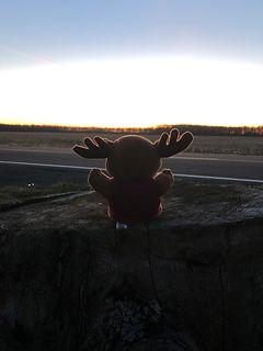 Plush Moose Sitting on Stump Facing Sunset