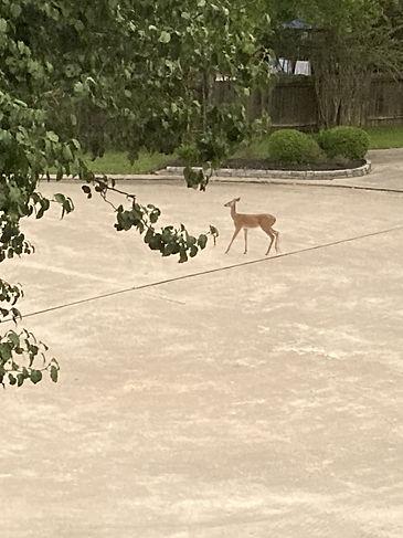 Kaya Unalmis - A deer walking down a neighborhood road.