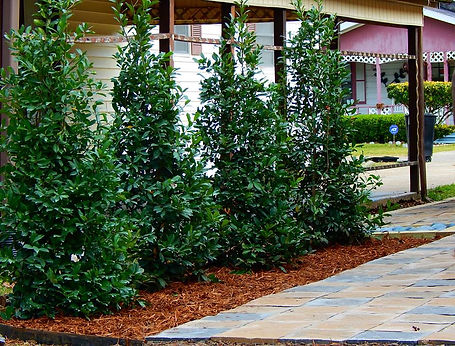 Eagleston Holly with pavestone hardscape