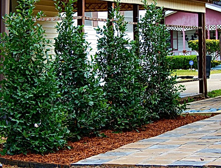 Eagleston Holly with pavestone hardscape