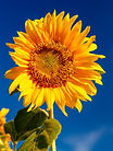 photo-of-sunflower-1214259.jpg