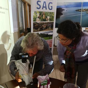 Chile Chico: Se detectó un ejemplar de Drosophila Suzukii o mosca de alas manchadas