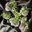 Thumbnail: Amethyst Blossoms Druzy