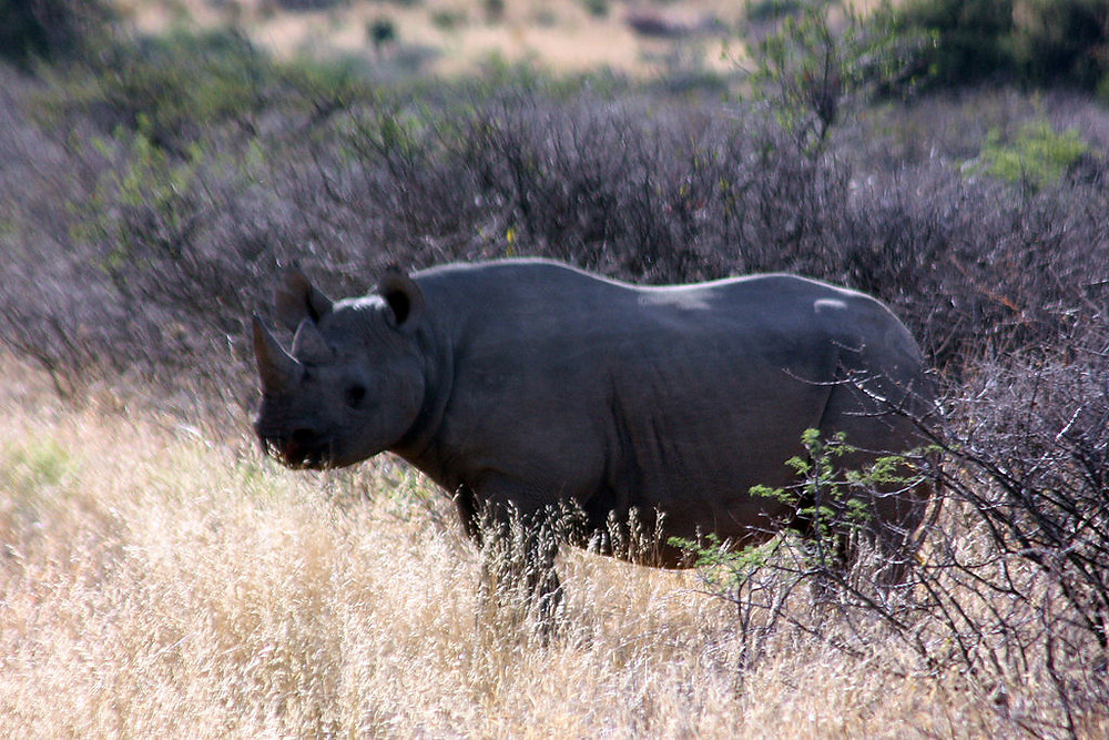 Black rhino in the Kalahari
