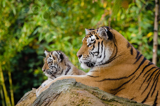 Tiger and her cub resting in a jungle
