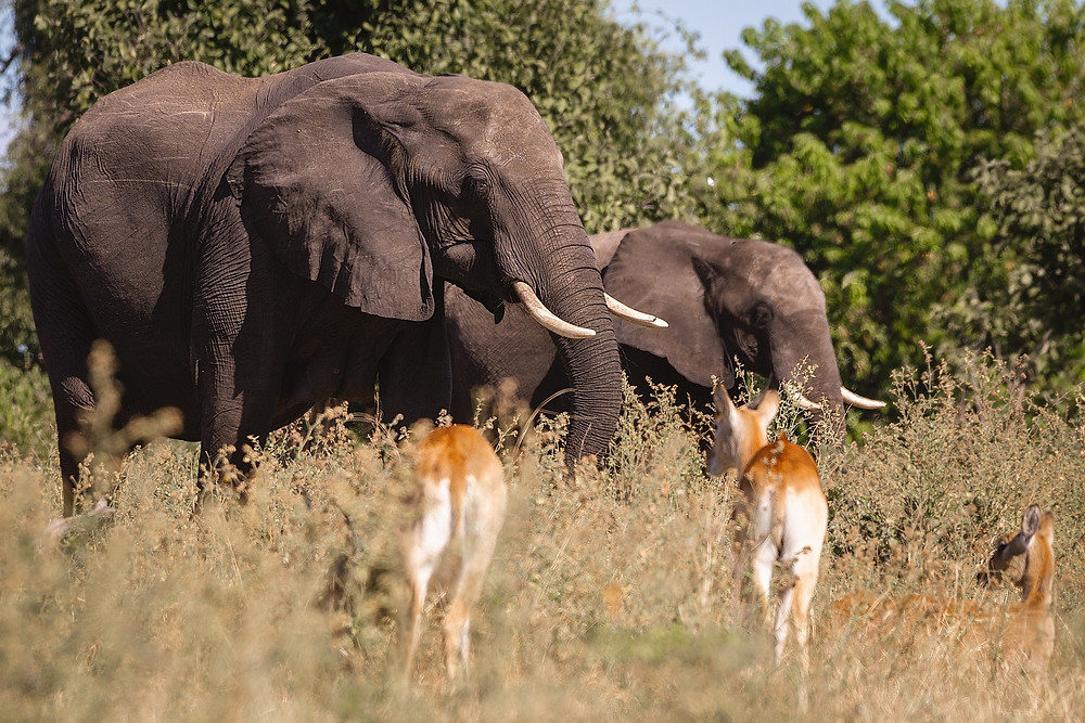 Mother elephant and calf in the bush with passing deer.